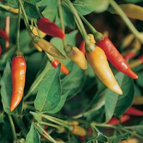 tabasco-peppers
